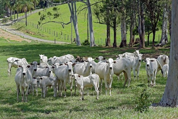 Paisagem rural com gado nelore, árvores e casas Foto Premium