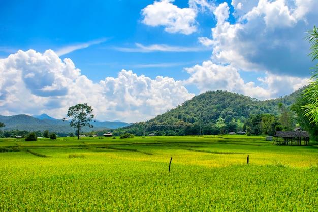Paisagem, vista, de, arroz verde, campo Foto Premium