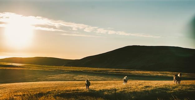 Paisagens islandesas, pôr do sol em um pasto com cavalos pastando luz de fundo Foto Premium