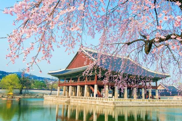 Palácio gyeongbokgung com flor de cerejeira na primavera, coreia. Foto gratuita