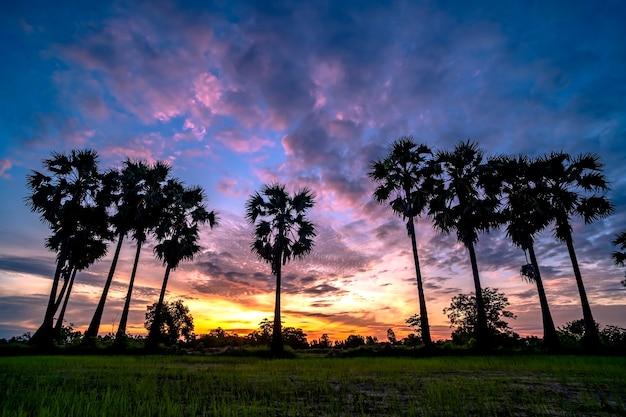 Palma de toddy bonita no fundo do nascer do sol. Foto Premium