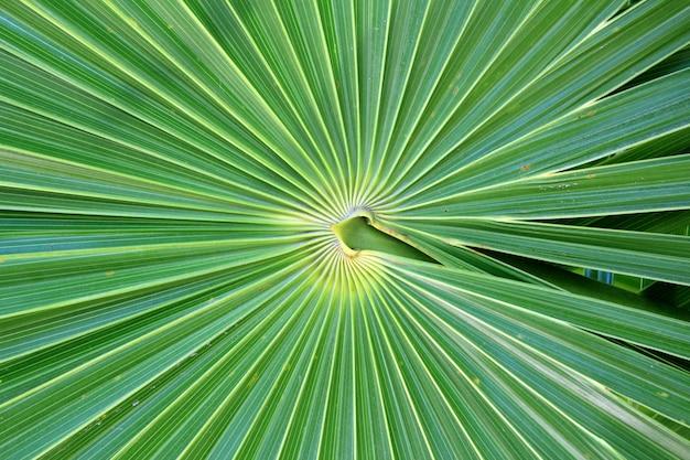 Palmeira chit florida thrinax radiata Foto Premium
