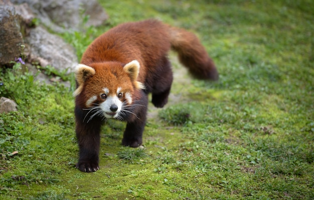 Panda vermelho caminha sobre musgo Foto Premium