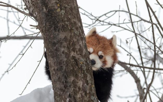 Panda vermelho escondido na neve Foto Premium