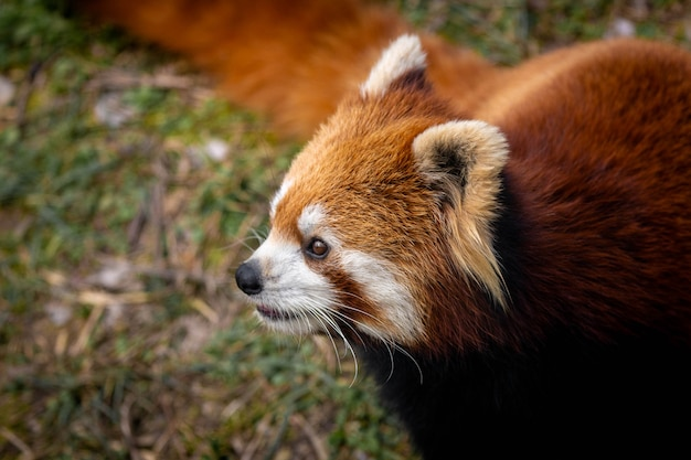 Panda vermelho Foto Premium