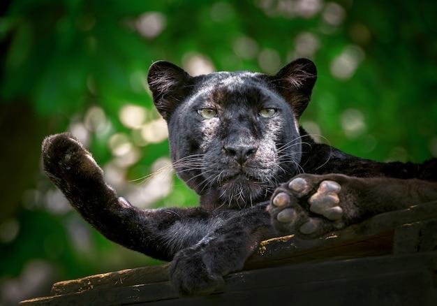 Pantera ou leopardo estão descansando na atmosfera natural. Foto Premium