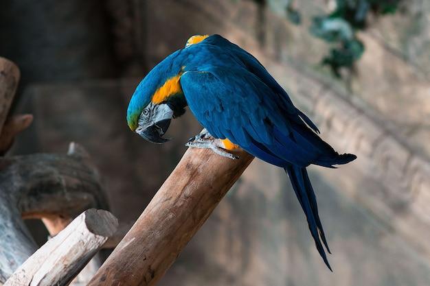 Papagaio arara azul e amarelo Foto Premium