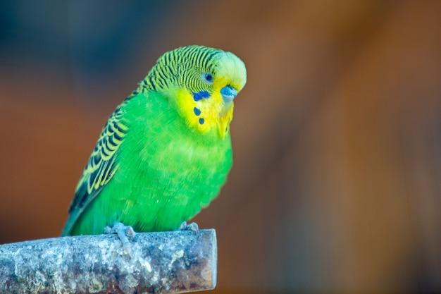 Papagaio colorido em uma gaiola em um zoológico. Foto Premium