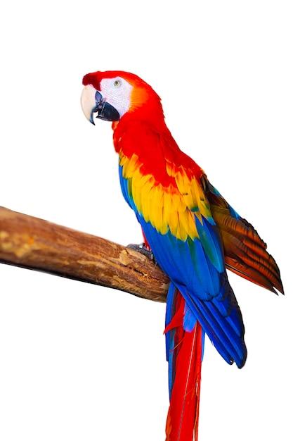 Papagaio colorido exótico em um fundo branco Foto Premium