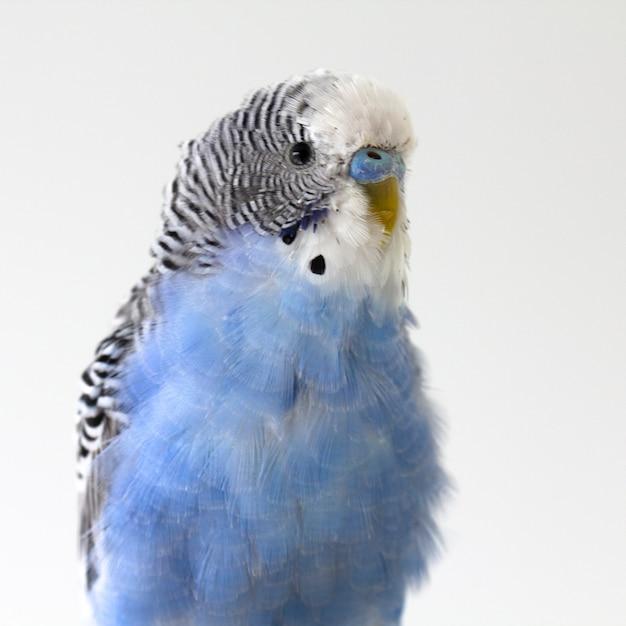 Papagaio ondulado azul senta-se em uma gaiola Foto Premium