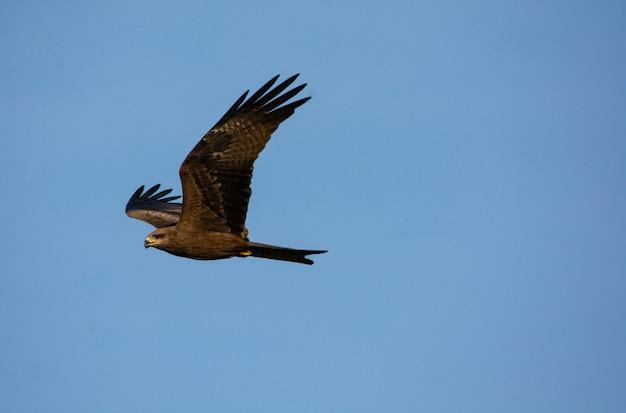 Papagaio preto em ação voando no fundo do céu azul Foto Premium