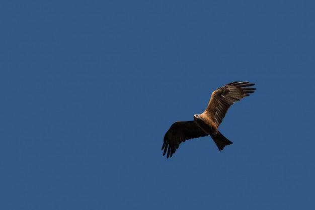 Papagaio preto voando sobre o céu Foto Premium