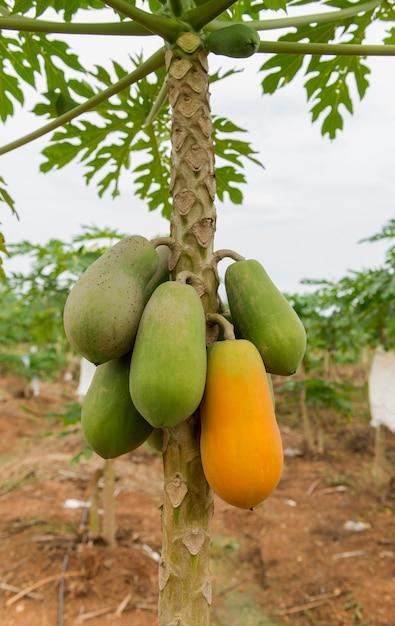 Papaia verde madura e crua amarela na árvore de papaia na exploração agrícola. Foto Premium