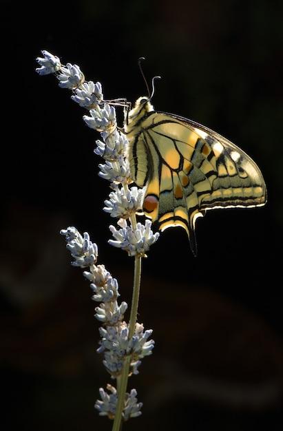 Papilio machaon Foto Premium