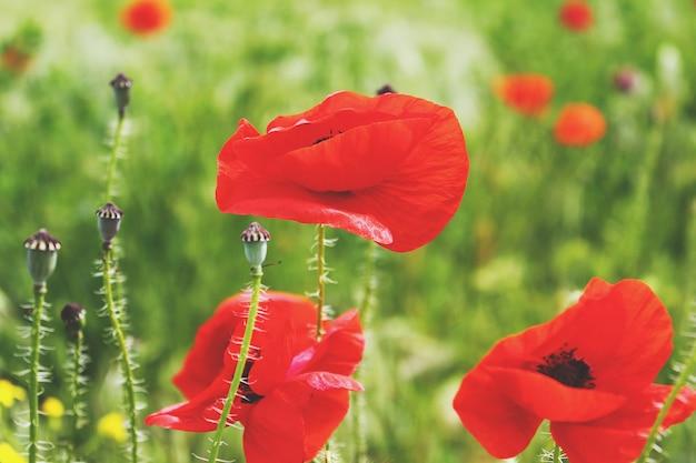 Papoilas vermelhas florescendo no campo Foto Premium