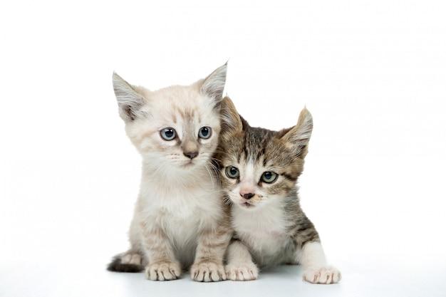 Par de gatinho isolado no branco Foto Premium