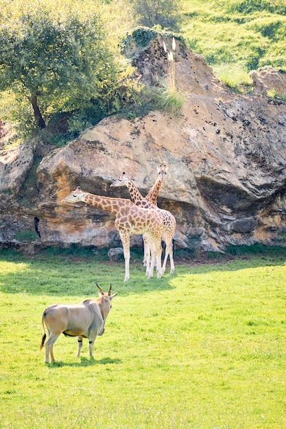 Par de girafas ao lado de elands antílopes Foto Premium
