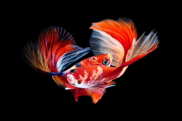Par de peixe betta em preto Foto Premium