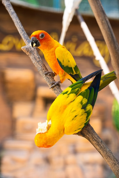 Par de periquito um laranja brilhante papagaios comendo milho. observação de pássaros Foto Premium