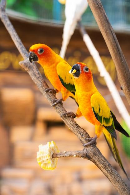 Par de periquito um laranja brilhante papagaios comendo milho. Foto Premium