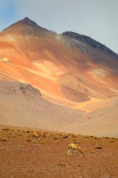 Par, de, selvagem, vicunas, em, andes, foothills, a, boliviano, altiplano, bolívia, américa sul Foto Premium