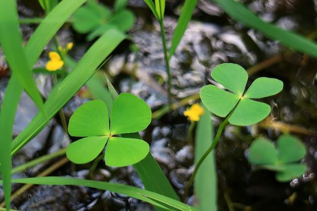 Par, de, trevo quatro-folha, samambaia, plantas, em, a, campo, obscurecido, fundo Foto Premium