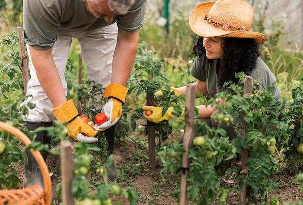 Par velho, colher tomates Foto gratuita