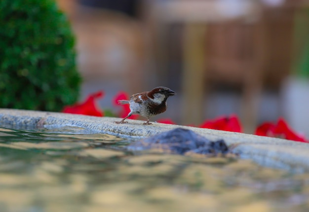 Pardal empoleirado em uma fonte e rodeado de água Foto Premium