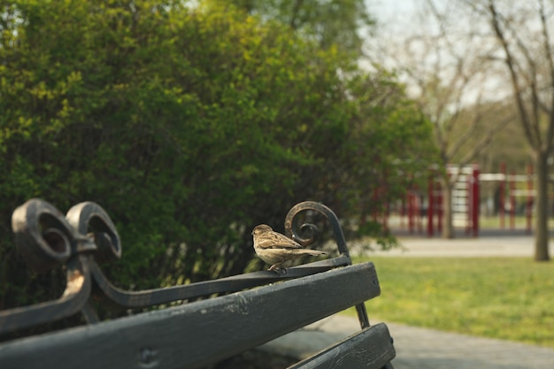 Pardal sentado no banco do parque. primavera Foto Premium