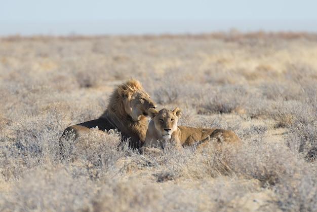 Pares de leões que encontram-se para baixo na terra no arbusto. safári dos animais selvagens no parque nacional de etosha, atração turística principal em namíbia, áfrica. Foto Premium