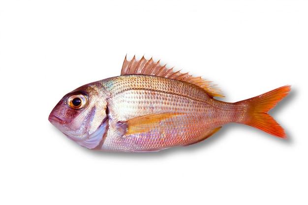 Pargo comum, pargo, peixe, isolado Foto Premium