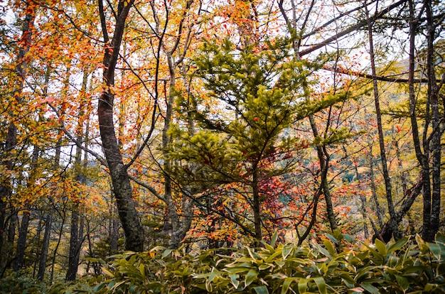 Parque natural da floresta de pinheiros naturais japoneses com muitas árvores na estação do outono Foto Premium