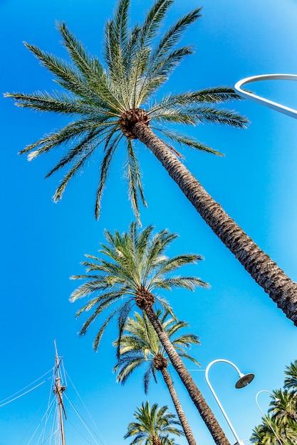 Partes superiores das palmeiras contra o céu azul. vista de baixo, plano de close-up. vertical. Foto Premium