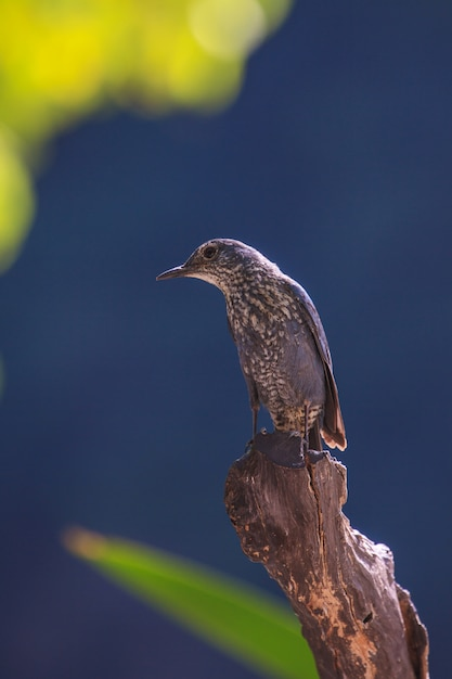 Pássaro azul do tordo da rocha (monticola solitarius) que está na natureza Foto Premium