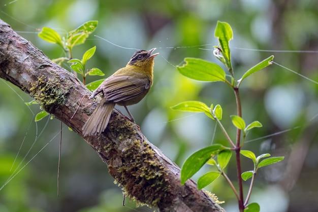 Pássaro cantando em um galho de árvore na floresta nebulosa Foto Premium
