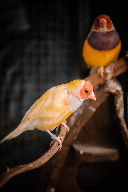 Pássaro colorido de gouldian finch Foto Premium