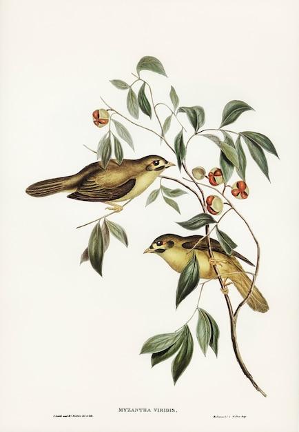Pássaro de bell australiano (myzantha melanophrys) ilustrado por elizabeth gould Foto gratuita