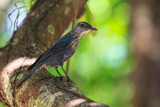 Pássaro do tordo da rocha azul (monticola solitarius) Foto Premium