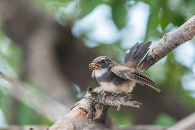 Pássaro (fantail pied da malásia) em uma natureza selvagem Foto Premium