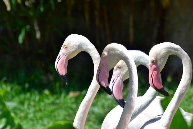 Pássaro flamingo é um pássaro muito bonito, com pescoços e pernas compridos Foto Premium