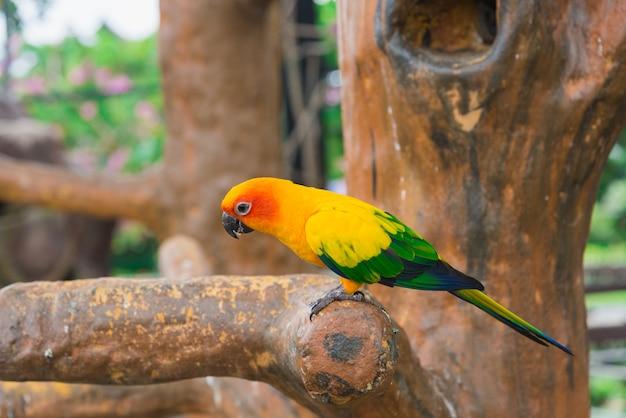 Pássaro papagaio amarelo, sol conure. Foto Premium