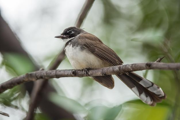 Pássaro (pied fantail flycatcher, rhipidura javanica) cor preta Foto Premium