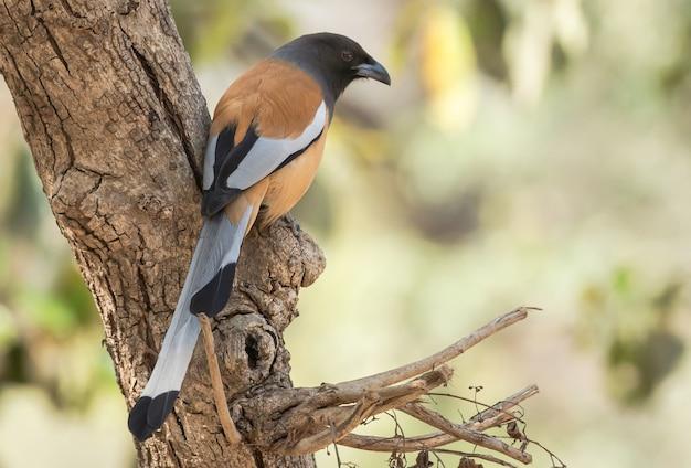 Pássaro rufous treepie empoleirado em uma árvore no parque nacional de ranthambhore, índia Foto gratuita