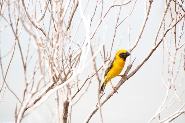 Pássaro tecelão segurar na árvore ramo seco Foto Premium