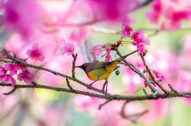 Pássaro vermelho fundo azul empoleirado nos ramos sakura Foto Premium