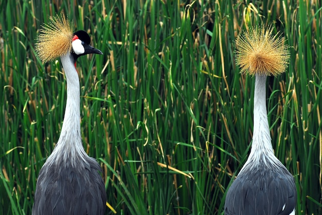 Pássaros de uganda - o guindaste coroado cinzento Foto Premium
