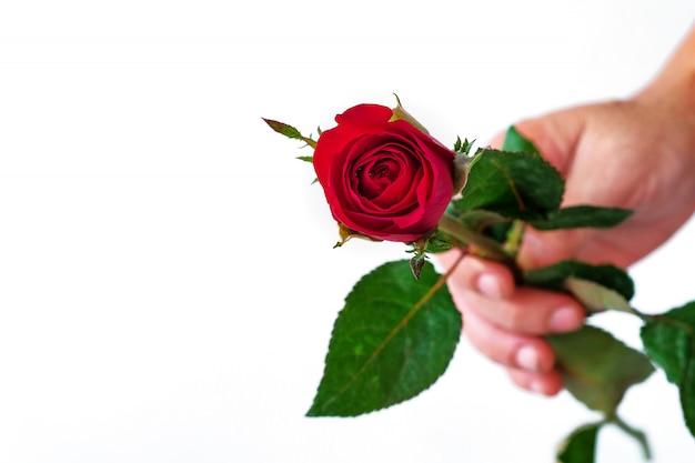 Passe segurar, um, rosa vermelha, branco, fundo Foto Premium