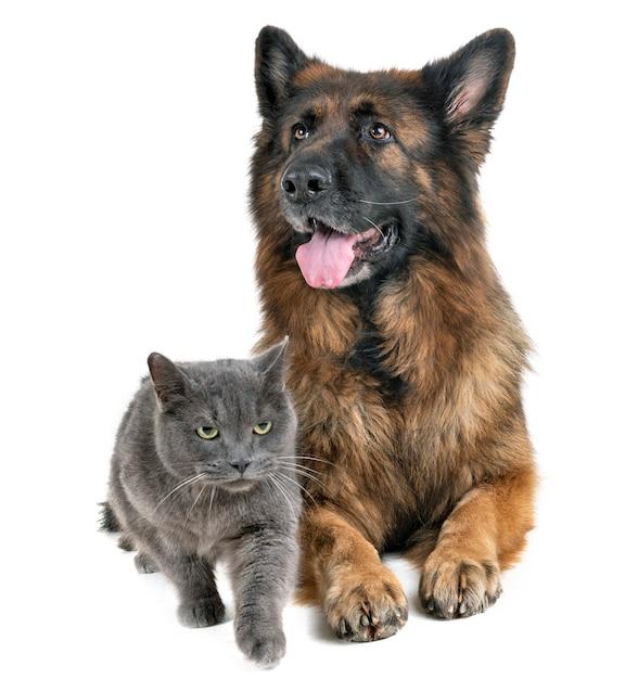 Pastor alemão e gato Foto Premium