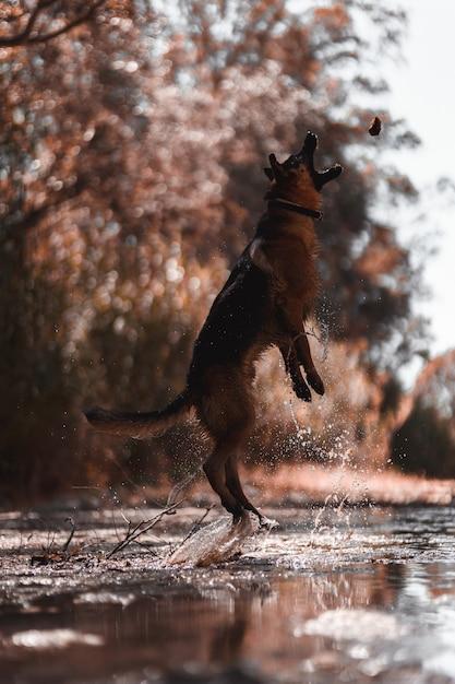 Pastor alemão pulando no rio Foto Premium