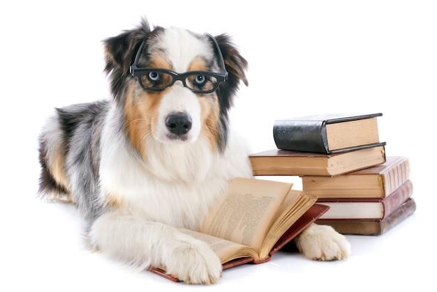 Pastor australiano e livros Foto Premium